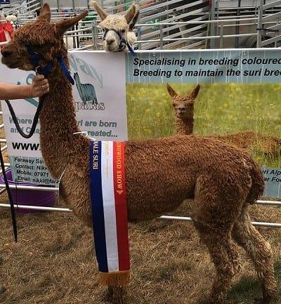 Faraway Alpacas Champion at Ellingham Show