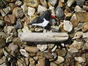 Oystercatcher on Solent Driftwood