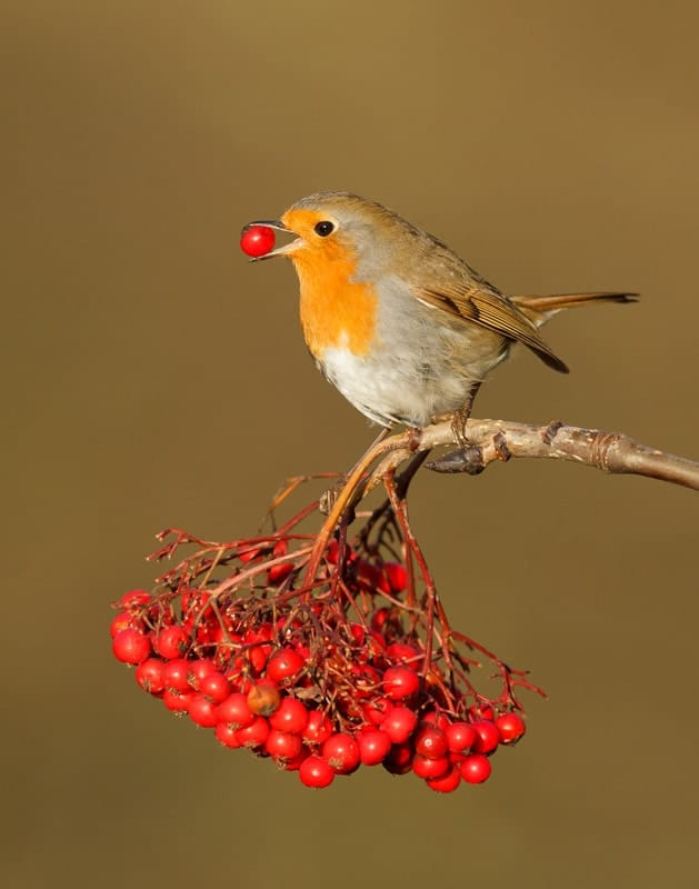 Make sure that you get the pick of the berries this Christmas!