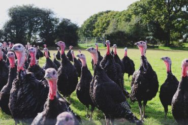 Where to order your New Forest Marque Turkeys for Christmas