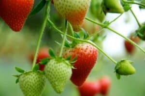 New Forest Fruit Farm stawberries2