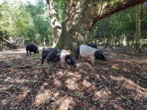 REARED - Andrew Parry-Norton_s British Saddlebacks enjoy their first acorns of th.._