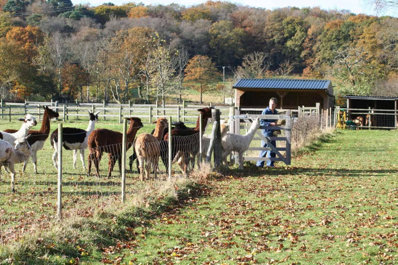 alpaca feeding group (1)